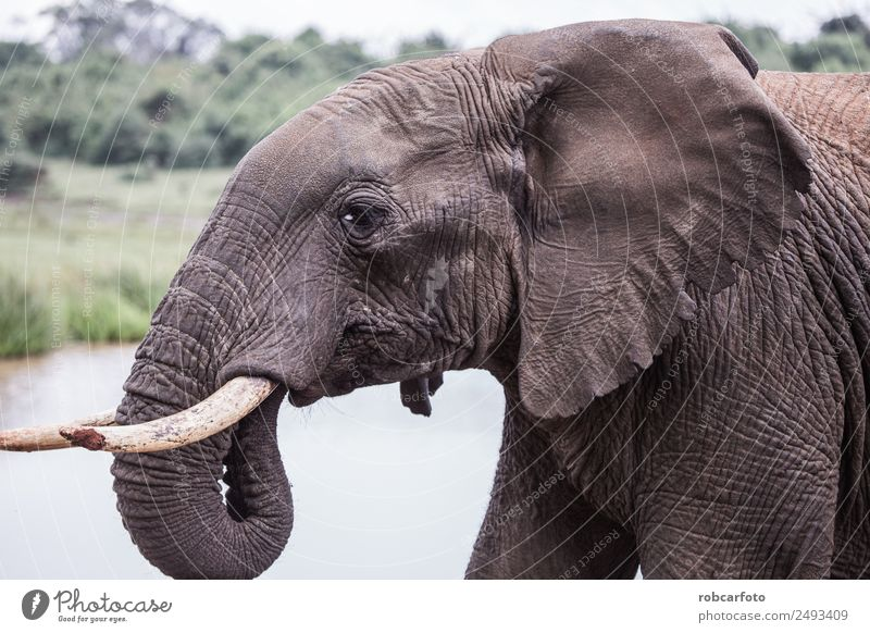 elephant in Aberdare National Park, Kenya Woman Adults Family & Relations Mouth Nature Animal Love Wet Natural Cute Strong Wild White Power national Elephant