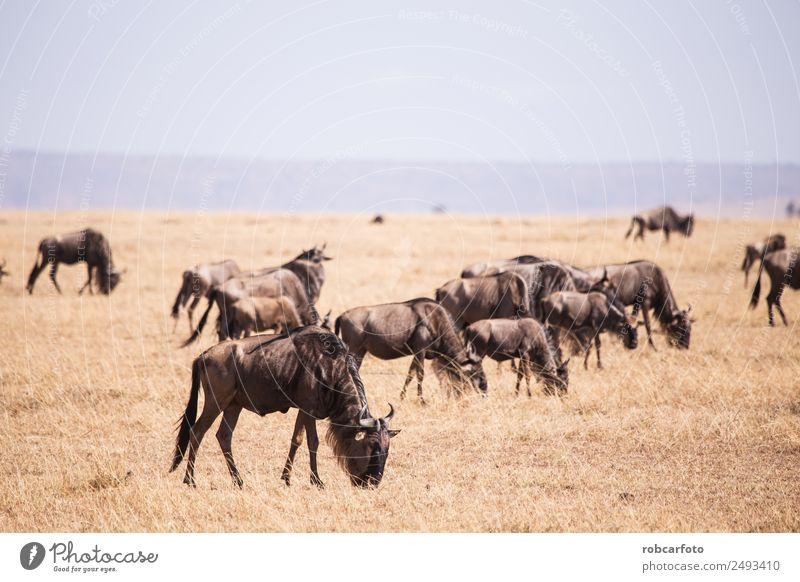wildebeest in Masai Mara National Park in Kenya Africa Beautiful Vacation & Travel Safari Environment Nature Landscape Animal River Herd Natural Wild Blue Green