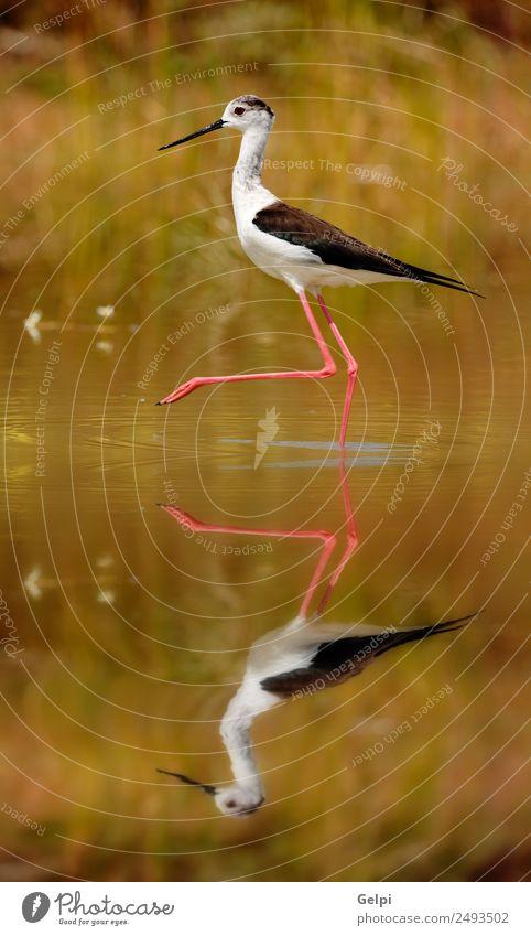 bird Beautiful Environment Nature Animal Spring Grass Coast Pond Lake River Bird Wing Long Wet Cute Wild Red Black White black-winged himantopus Stilt water