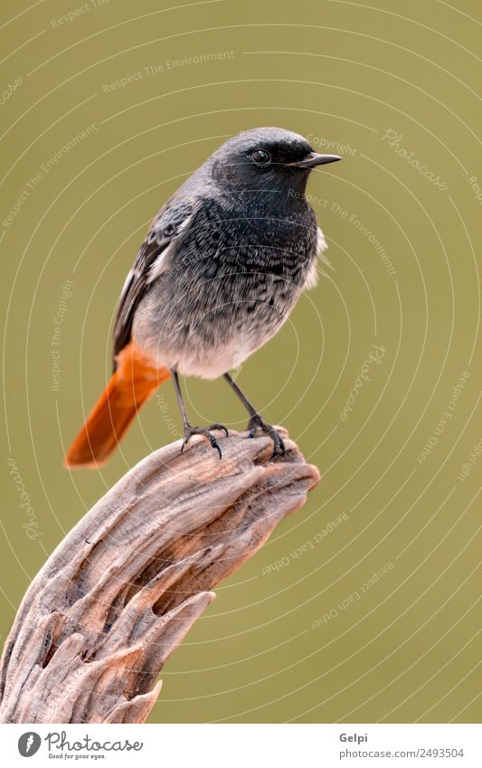 bird Life Nature Plant Animal Forest Bird Wing Dark Small Wild Brown Green Red Black Redstart red tail redstare wildlife common perched fauna Spain Ornithology