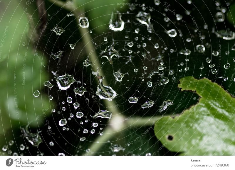 rain net Environment Nature Water Drops of water Summer Weather Rain Bushes Glittering Wet Green Black Spider's web Colour photo Subdued colour Exterior shot