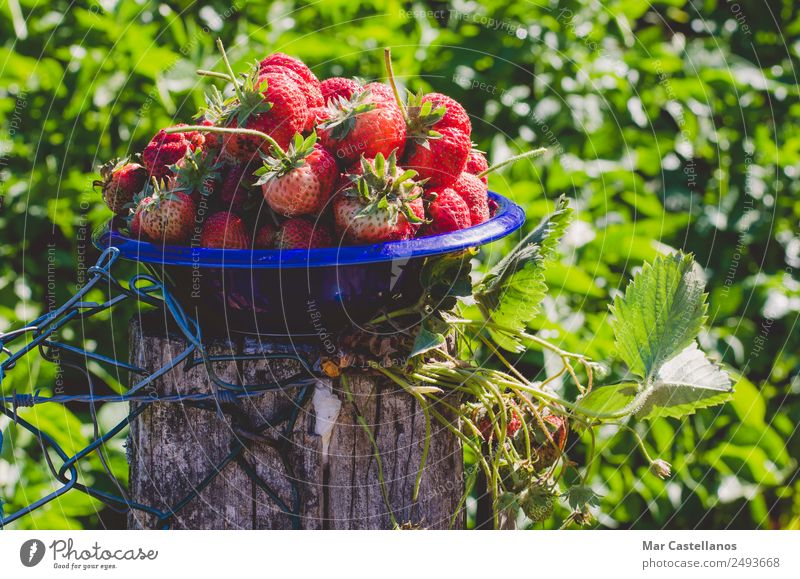 Fresh strawberries in blue bowl Nature Blue Plant Beautiful Colour Green Red Leaf Eating Lifestyle Natural Fruit Nutrition Glittering Photography