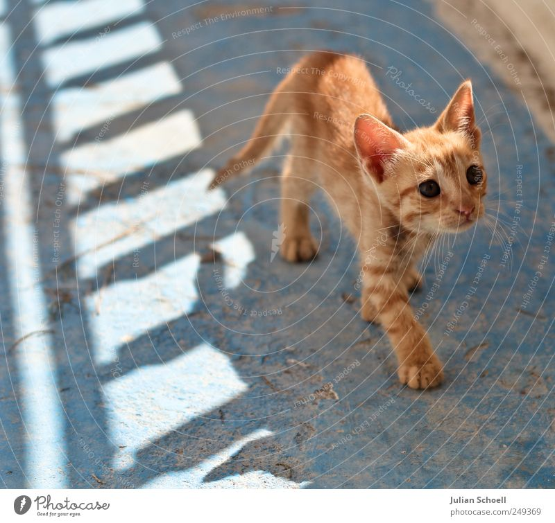 Blue Beautiful Red Animal Small Cat Baby animal Cute Curiosity Observe Thin Listening Watchfulness Ease Timidity Attentive