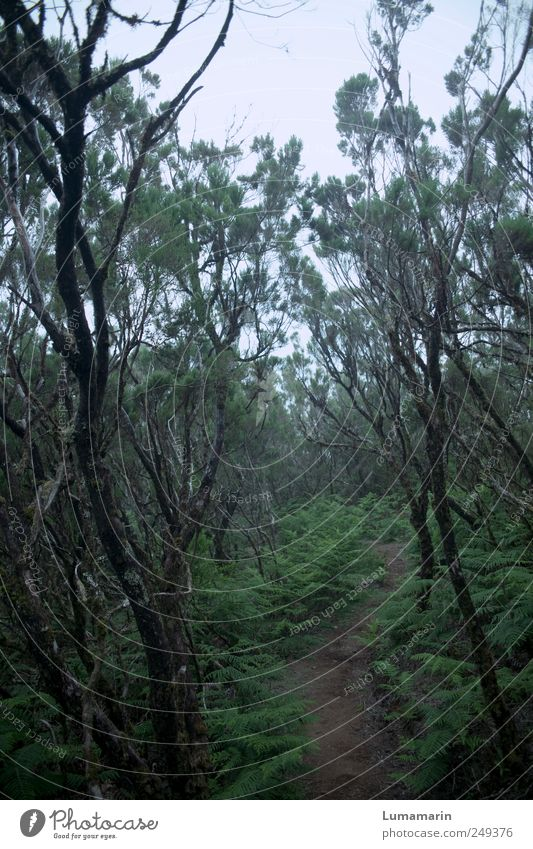 in the early days Environment Landscape Plant Bad weather Fog Foliage plant Wild plant Forest Virgin forest Madeira Dark Far-off places Cold Long Wet Natural