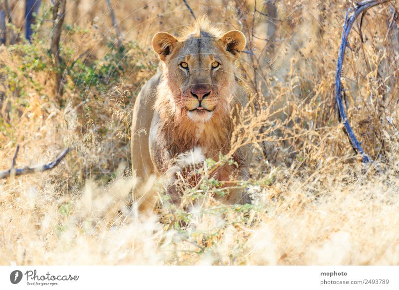 Royal #2 Vacation & Travel Tourism Safari Nature Plant Warmth Drought Grass Desert Namibia Africa Animal Wild animal Lion 1 Observe Eating To feed Aggression