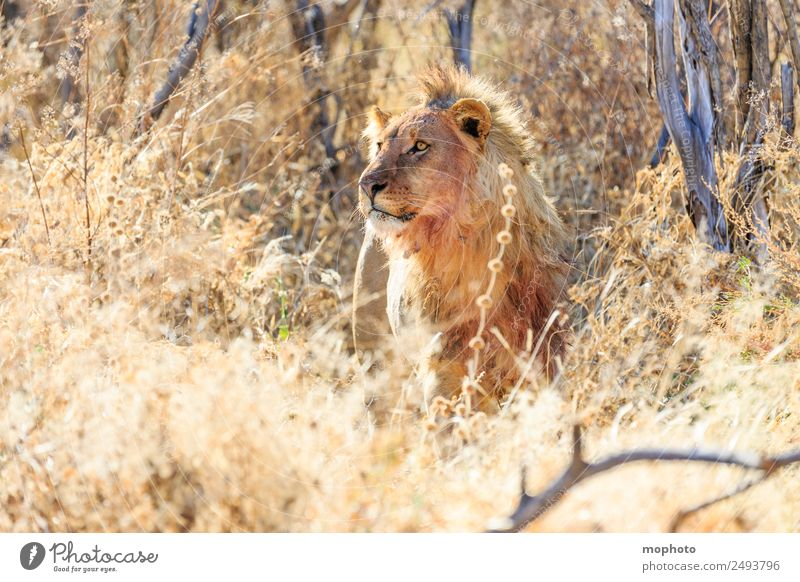 Royal #1 Vacation & Travel Tourism Safari Nature Plant Warmth Drought Grass Desert Namibia Africa Animal Lion Observe Eating To feed Hunting Aggression Threat