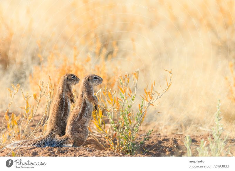 Together #1 Vacation & Travel Tourism Safari Nature Plant Climate Warmth Drought Grass Desert Namibia Africa Animal Wild animal Pelt Squirrel bristle croissant