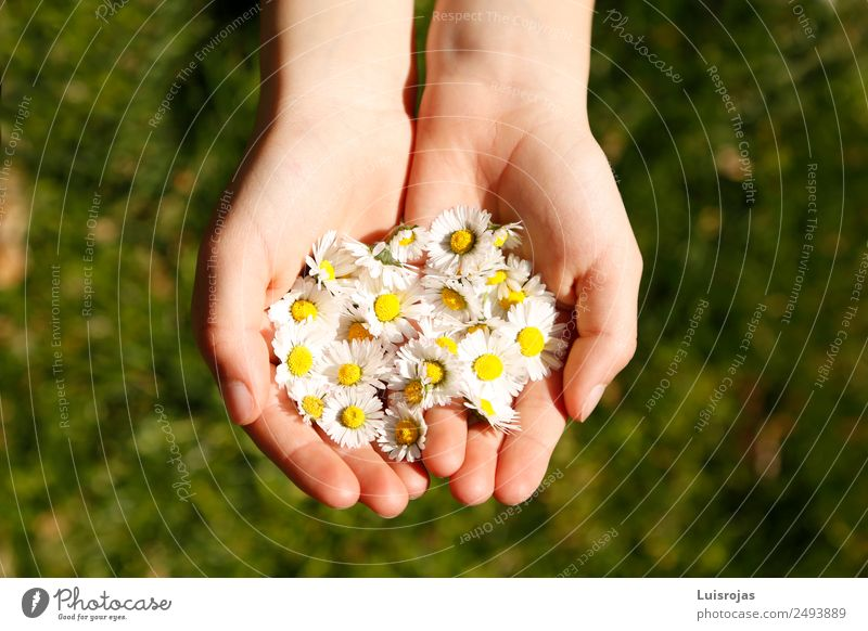 hands with yellow and white flowers on green meadow Luxury Healthy Relaxation Calm Meditation Child Hand Environment Nature Landscape Spring Summer Flower Grass