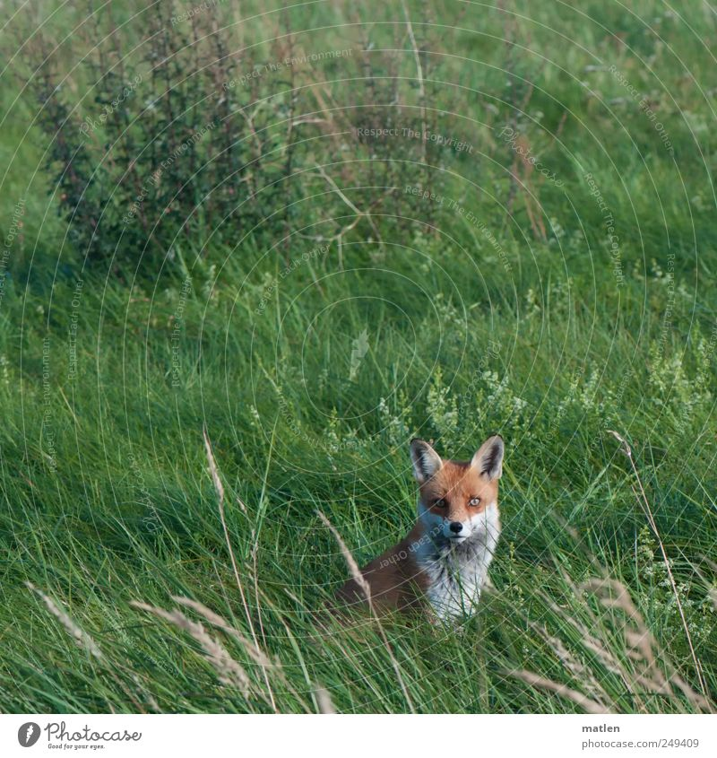 volpe Grass Meadow Animal Wild animal Animal face 1 Observe Looking into the camera Fox Sit Colour photo Exterior shot Deserted Day