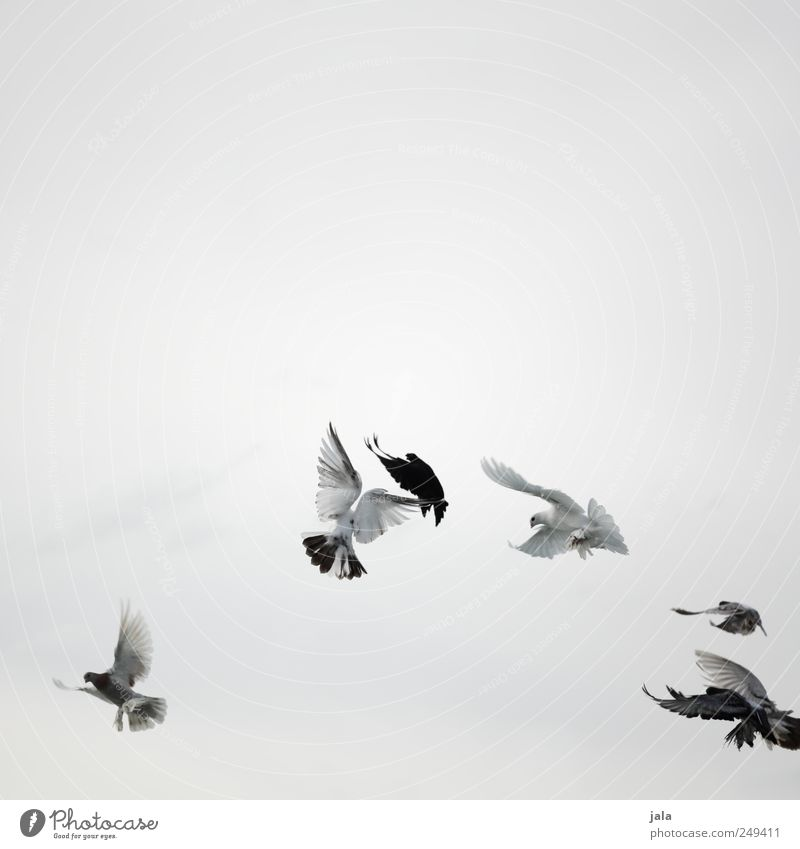 Sky White Animal Black Gray Flying Bird Wild Esthetic Pigeon Flock