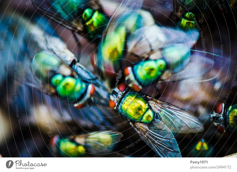 turmoil Fly Blowfly Greenbottle fly Lucilia sericata Flock To feed Crawl Disgust Glittering Yellow Gold Voracious Death Decline Transience tumble crowded