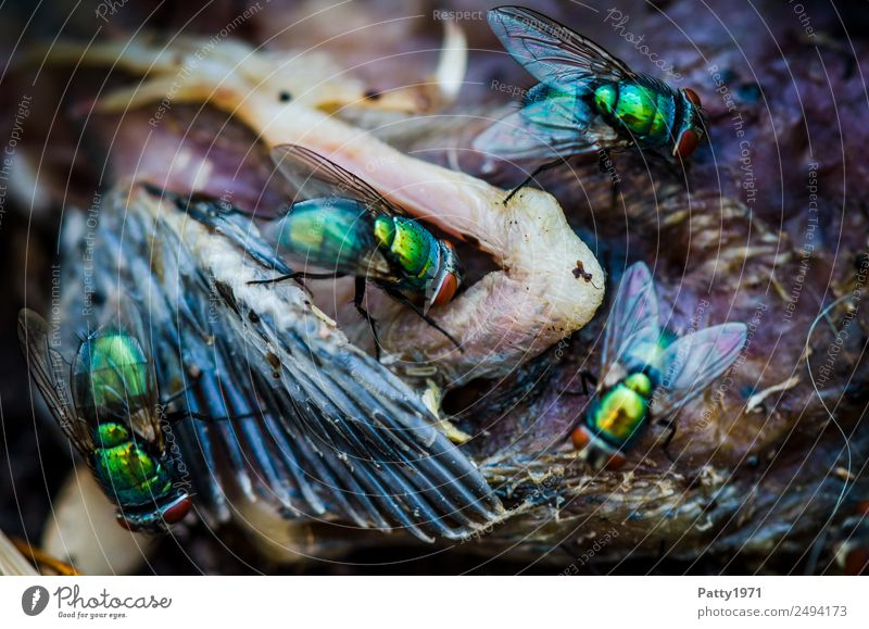 blowflies Animal Dead animal Bird Fly Wing Blowfly Greenbottle fly Lucilia sericata nestling 4 To feed Crawl Disgust Glittering Yellow Gold Voracious Death