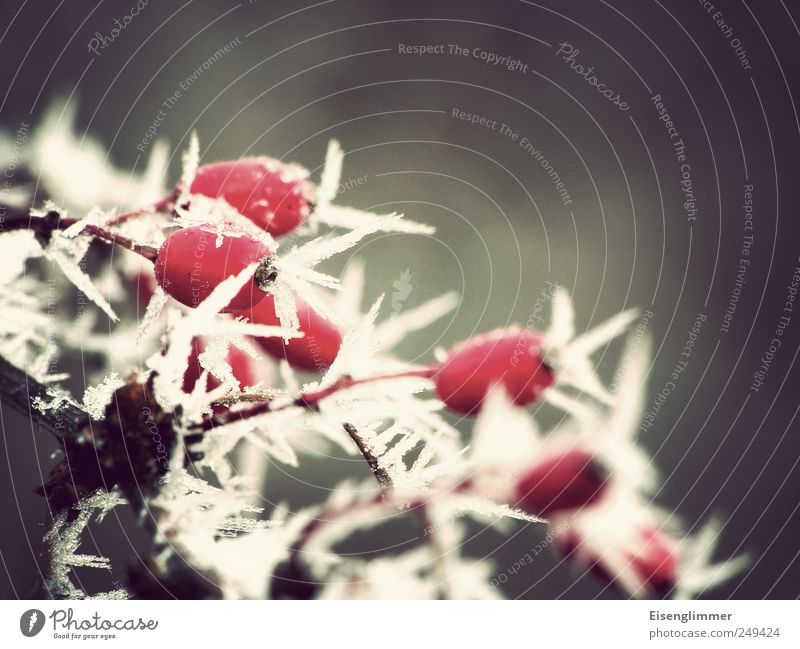 ice age Ice Frost Plant Rose hip Cool (slang) Cold Point Gray Red White Climate Ice crystal Winter Colour photo Subdued colour Exterior shot Detail Deserted