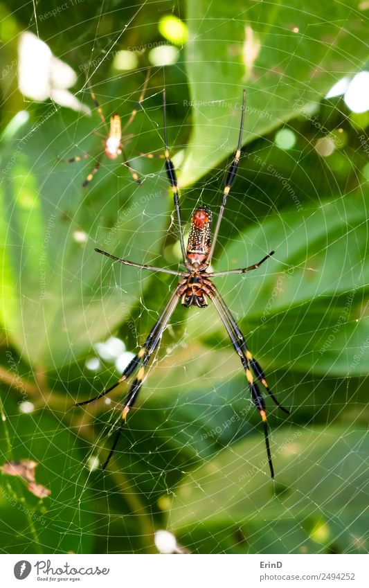 Pair of Brightly Colored Venomous Spiders Close Up in Jungle Web Beautiful Vacation & Travel Internet Woman Adults Man Nature Animal Virgin forest Catch To feed