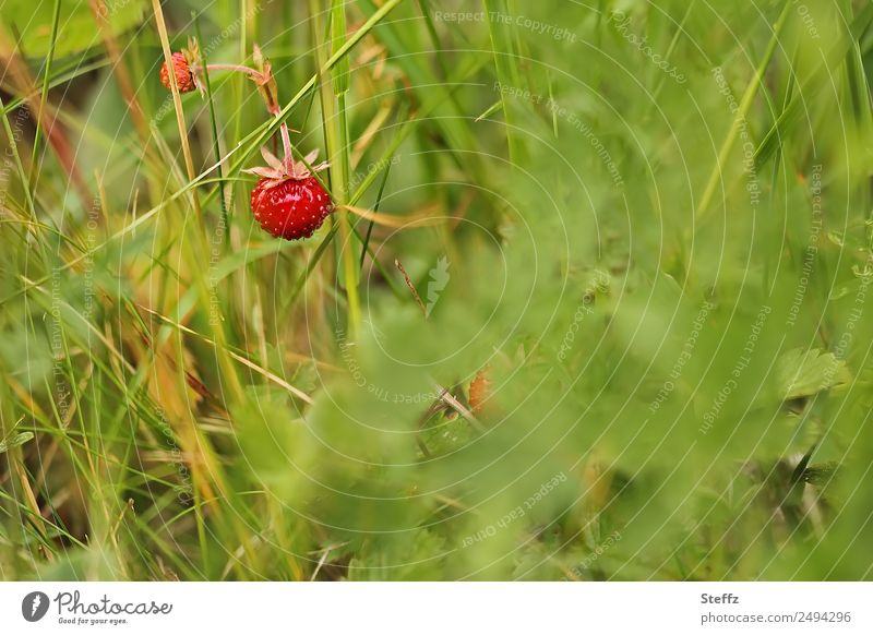 wild berries Fruit Wild strawberry Berries Nature Plant Summer Grass Bushes Agricultural crop Wild plant Berry bushes Strawberry Forest Woodground