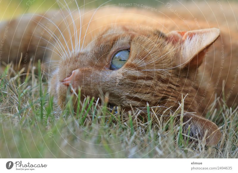 Red tomcat Well-being Relaxation Pet Cat Whisker Goof off Observe To enjoy Lie Beautiful Curiosity Contentment Safety (feeling of) Love of animals Watchfulness