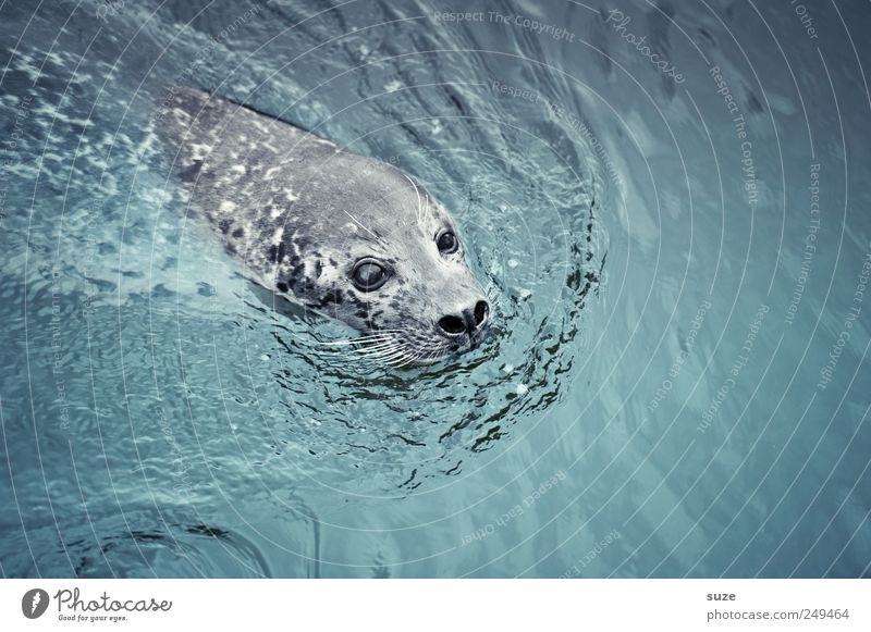 Robbie Nature Animal Water Waves Ocean Wild animal Animal face 1 Swimming & Bathing Curiosity Cute Blue Seals Harbour seal Head Surface of water Comical
