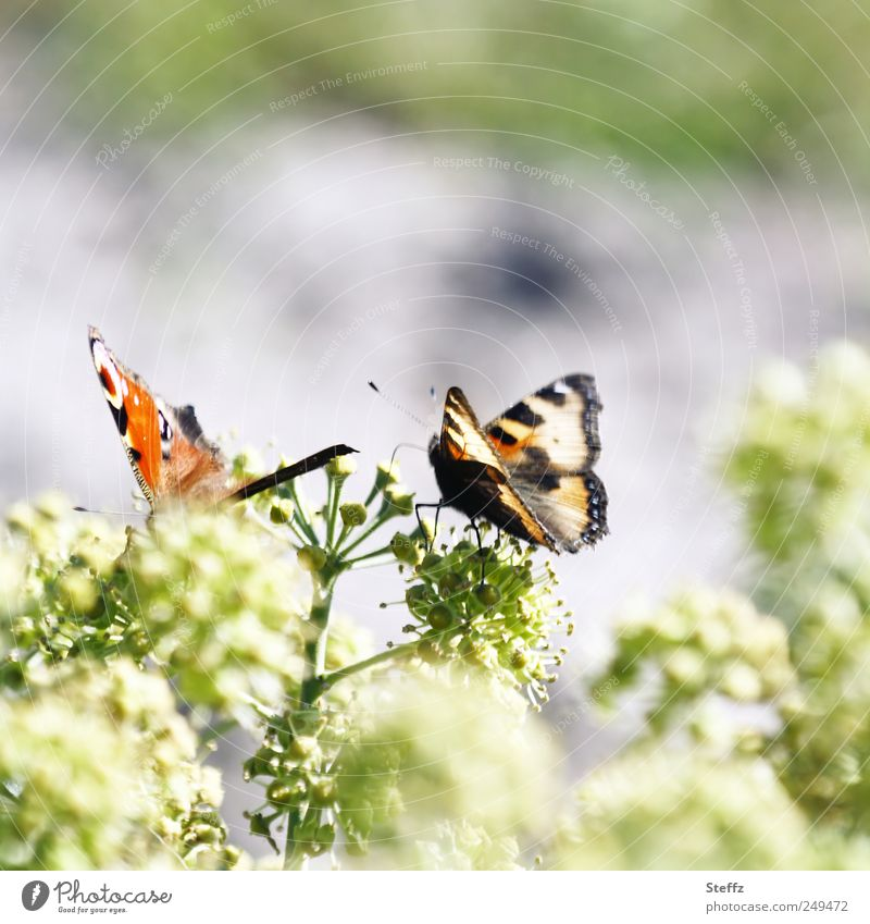 as long as it stays sunny. Environment Nature Plant Bushes Animal Butterfly Wing Peacock butterfly Browns Living thing Noble butterfly 2 Small Natural Beautiful