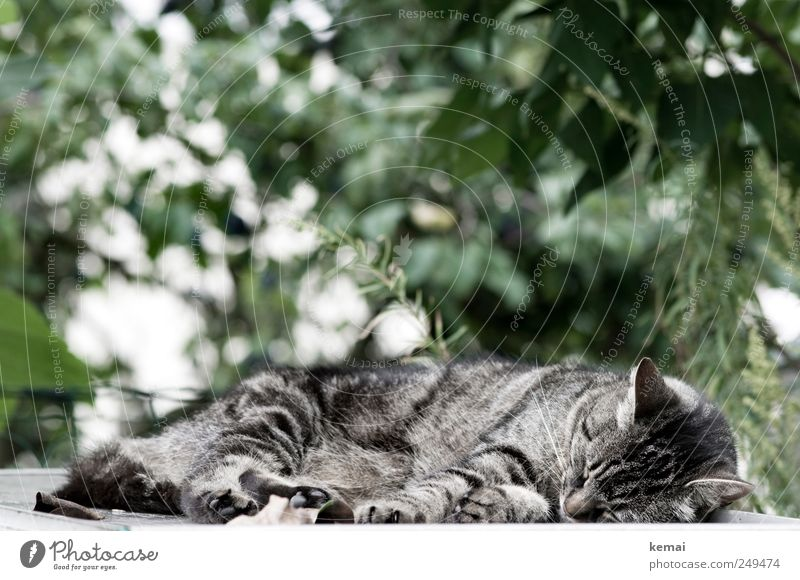 have a nap Environment Nature Plant Sunlight Bushes Garden Animal Pet Cat Animal face Pelt Paw 1 Lie Sleep Gray Green mackerelled Tabby cat Colour photo