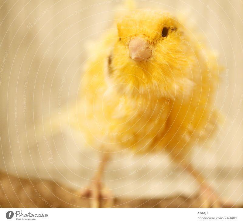 pipsqueak Animal Pet Bird Pelt 1 Yellow Budgerigar Plumed Canary bird Colour photo Interior shot Deserted Copy Space left Neutral Background Artificial light