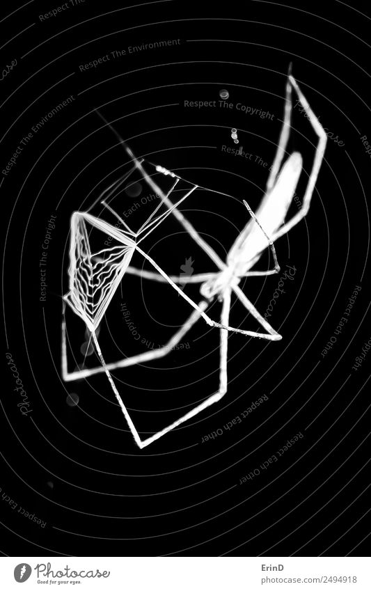 Spider Prepares Web To Throw at Prey Hunting Vacation & Travel Internet Nature Animal To feed Dark Creepy Uniqueness Black White Fear Effort gnaphosid