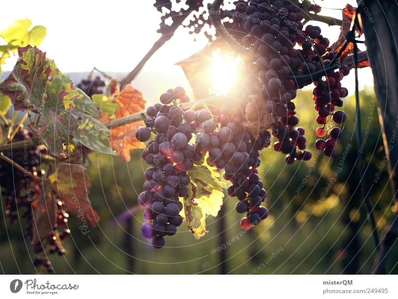 Sun Environment Esthetic Vine Italy Harvest Mature Slope Quality Bunch of grapes Mountain Vineyard Grape harvest Red wine Colour Fruit