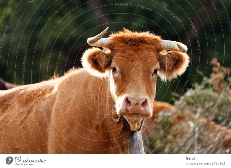 Red haired cow Face Summer Family & Relations Adults Environment Nature Landscape Animal Clouds Meadow Village Cow Herd Green Black White Farm field horns Beef