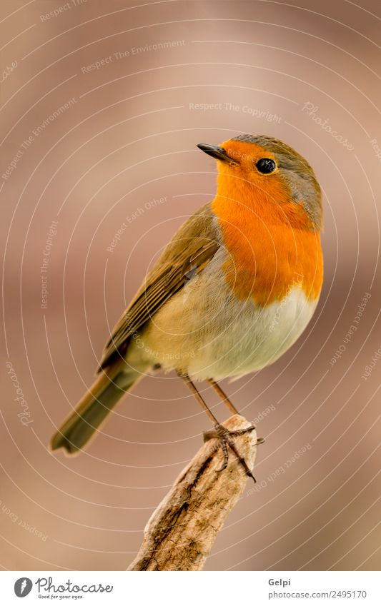 bird Beautiful Life Man Adults Environment Nature Animal Bird Small Natural Wild Brown White wildlife robin common perched background passerine