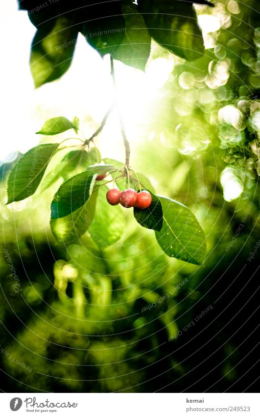 As the cherries ripened. Food Fruit Nutrition Picnic Organic produce Environment Nature Plant Sun Sunlight Summer Beautiful weather Agricultural crop Cherry