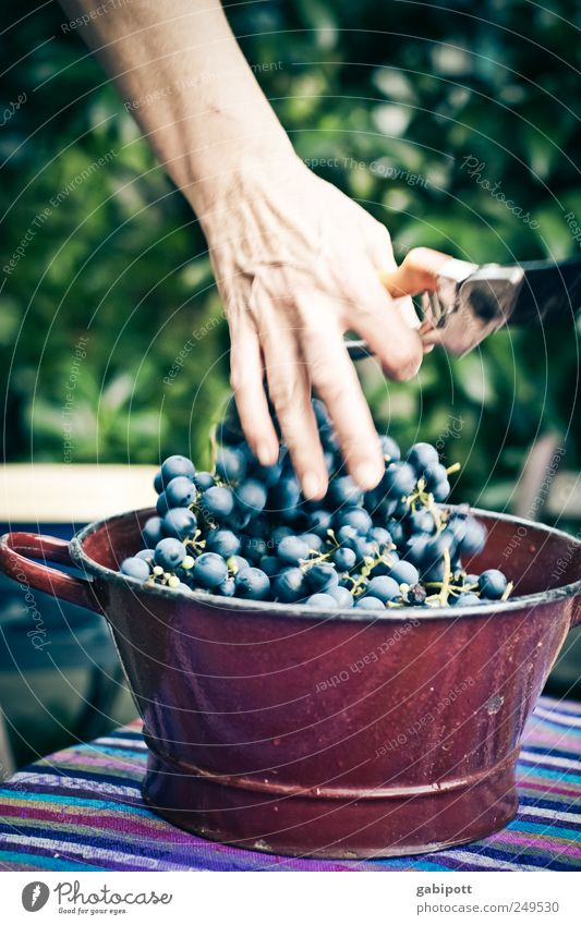 Freshly harvested on the table Food Fruit Bunch of grapes Nutrition Bowl Natural Blue Brown Joie de vivre (Vitality) Hospitality Idyll Nature Gardening Harvest