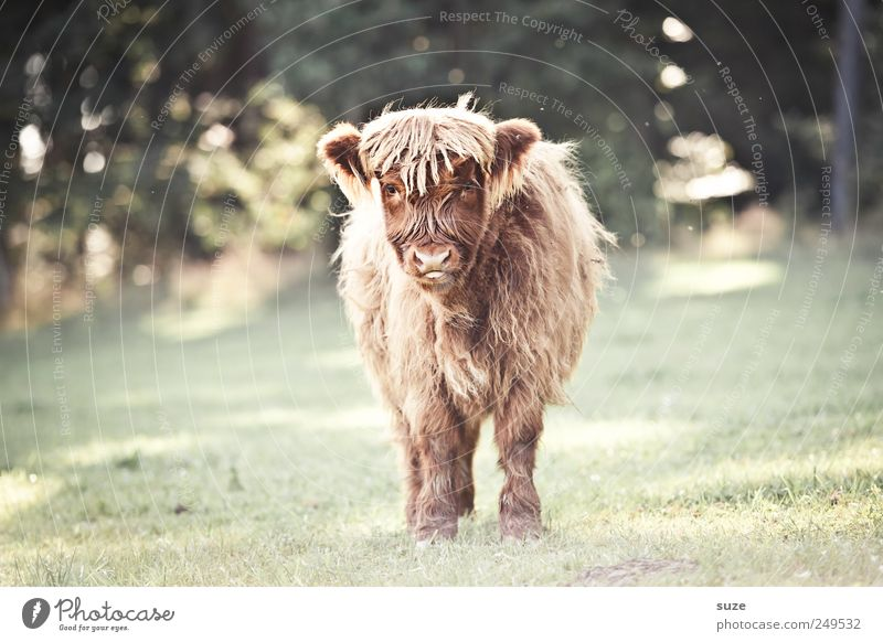 Nature Animal Meadow Environment Funny Field Baby animal Cute Animal face Pelt Pasture Calf Cattle Farm animal Bushy Country life