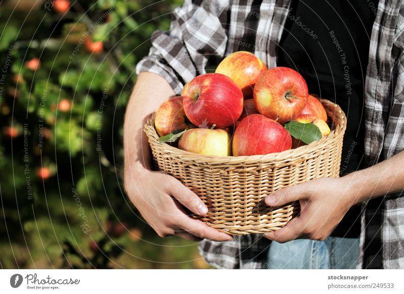 Apple harvest Gardening Day Hand Unrecognizable ripe Food Fruit Harvest filled Hold Full Basket Wicker basket Man Farmer