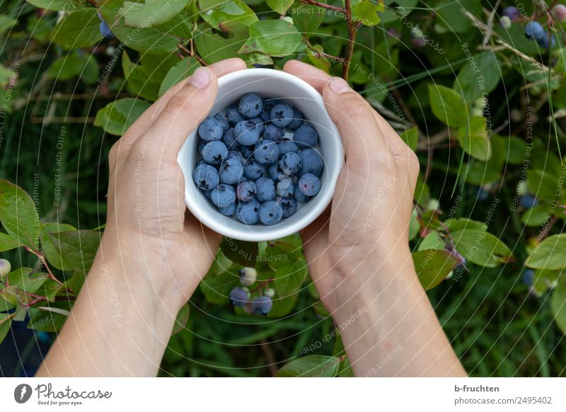 Blueberries in the garden Food Fruit Organic produce Bowl Healthy Hand Fingers Summer To hold on Fresh Blueberry Pick Harvest Mature Bushes cultivated blueberry