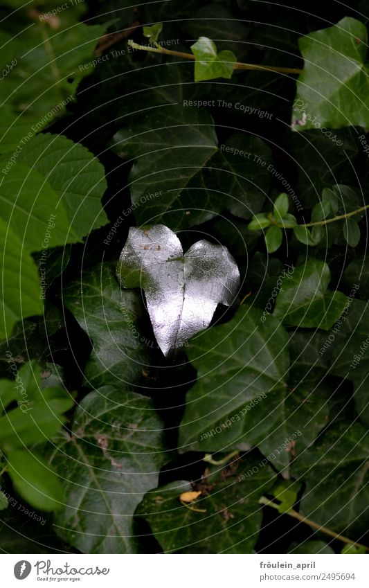 Refined Nature Plant Ivy Leaf Foliage plant Park Point Green Silver Colour single leaf Glittering Colour photo Exterior shot Copy Space top Copy Space bottom