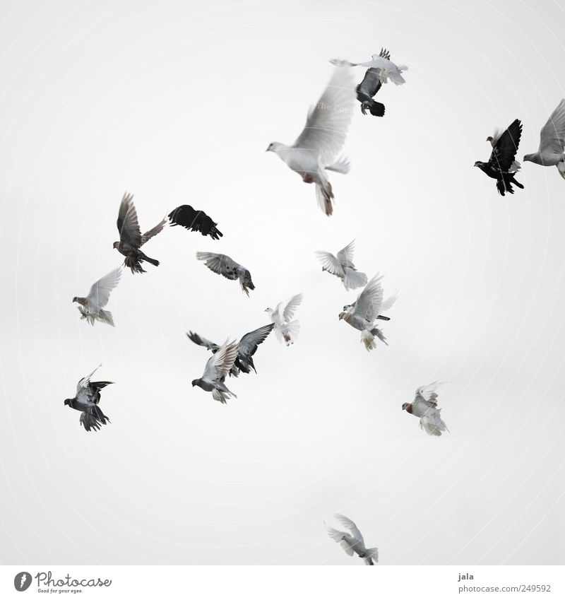 Sky Animal Feasts & Celebrations Bird Flying Esthetic Pigeon Flock