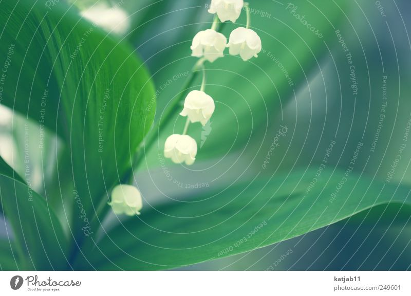 lily of the valley Nature Plant Spring Foliage plant Lily of the valley Small Green White Flower Colour photo Exterior shot Macro (Extreme close-up) Deserted