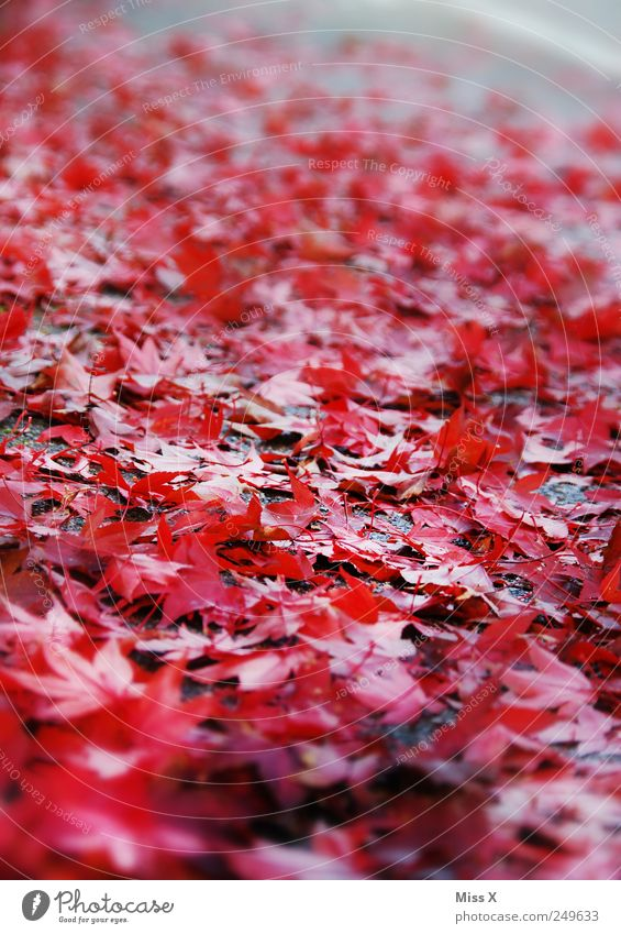 red Autumn Leaf Street Red Autumnal Autumn leaves Maple leaf Sidewalk Slippery surface Colour photo Multicoloured Exterior shot Close-up Pattern Deserted