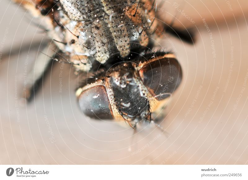 Nature Red Animal Brown Fly Threat Point Insect Near Creepy Disgust Surrealism Thorny Hideous Compound eye