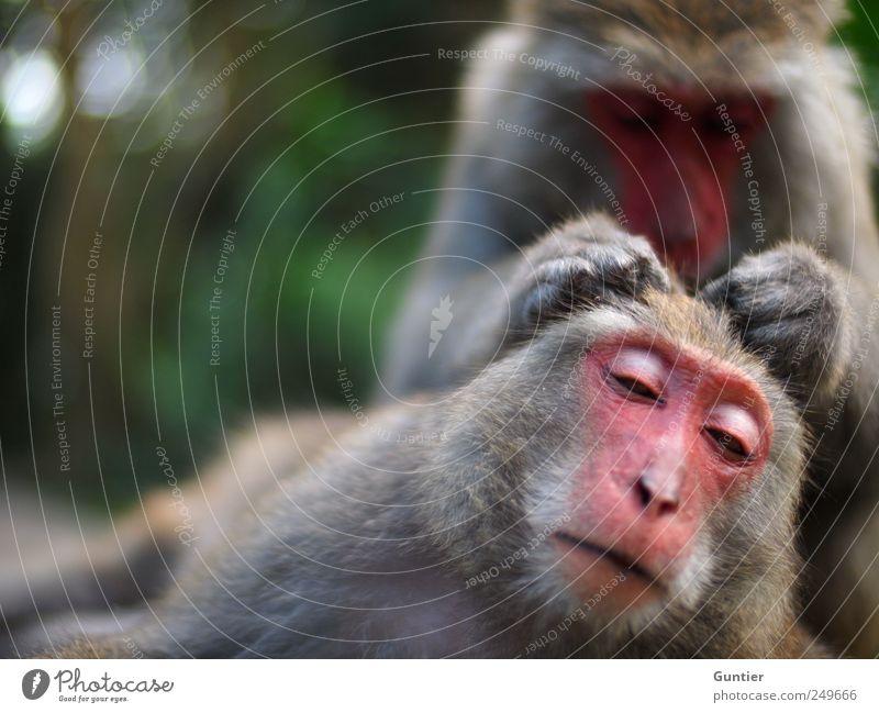 Haaaarrrrrrrr,... Wild animal 2 Animal Pair of animals Gray Green Pink Black Silver Monkeys Trust Contentment Stroke Affection Mammal Personal hygiene