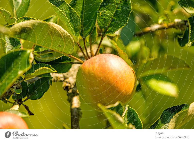 ripe apple on a tree Apple Healthy Mature Red Green Tree Apple tree Fruit Vitamin C Eating Nature Sowing Product Agriculture Summer Colour photo Exterior shot