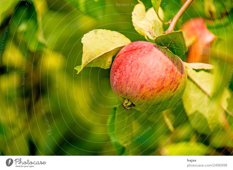 Apple, ripe on the tree Red Mature Juicy salubriously Tree Apple tree Summer Autumn Green Nutrition Vitamin C Eating Generator Agriculture fruit product