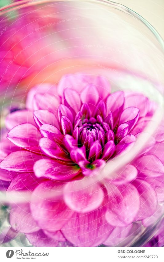 Plant Blossom Pink Blossoming Bouquet Bizarre Agricultural crop Pot plant Flower Market garden Chrysanthemum