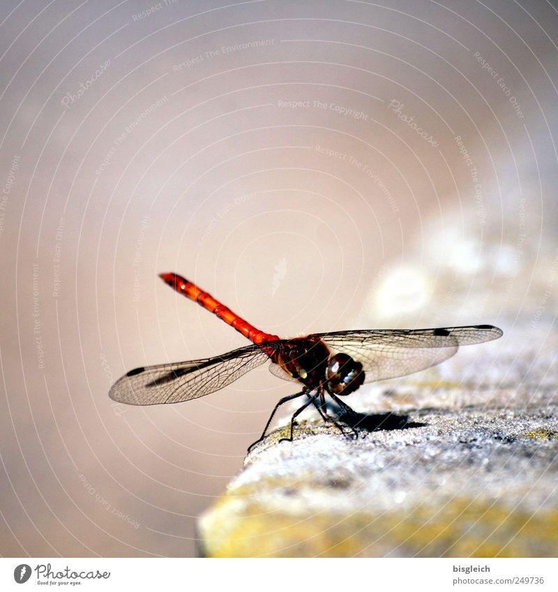 dragonfly Animal Insect Dragonfly Dragonfly wings 1 Touch Movement Flying Sit Glittering Small Brown Delicate Wing Fragile Colour photo Subdued colour