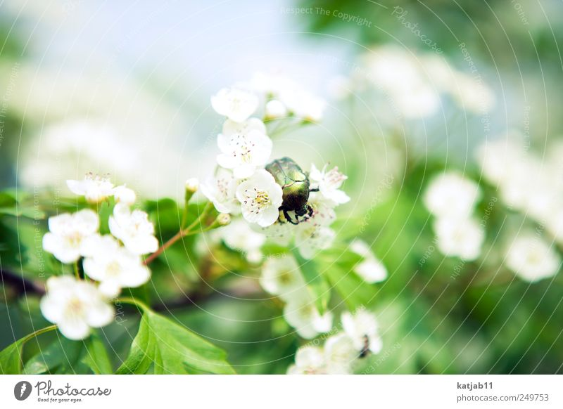 bug Environment Nature Plant Animal Beautiful weather Flower Blossom Foliage plant Cherry blossom Garden Wild animal Beetle 1 Crawl Green White Colour photo
