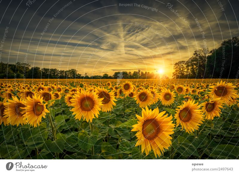 Sunflowers in the evening Nature Landscape Plant Sky Clouds Sunrise Sunset Sunlight Summer Weather Beautiful weather Flower Blossom Foliage plant Garden Meadow
