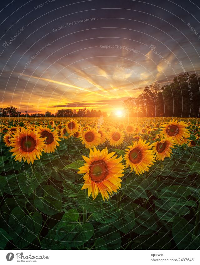 Sunflowers in the evening Nature Landscape Plant Sky Clouds Sunrise Sunset Summer Beautiful weather Flower Blossoming Fragrance Smiling Illuminate Happiness
