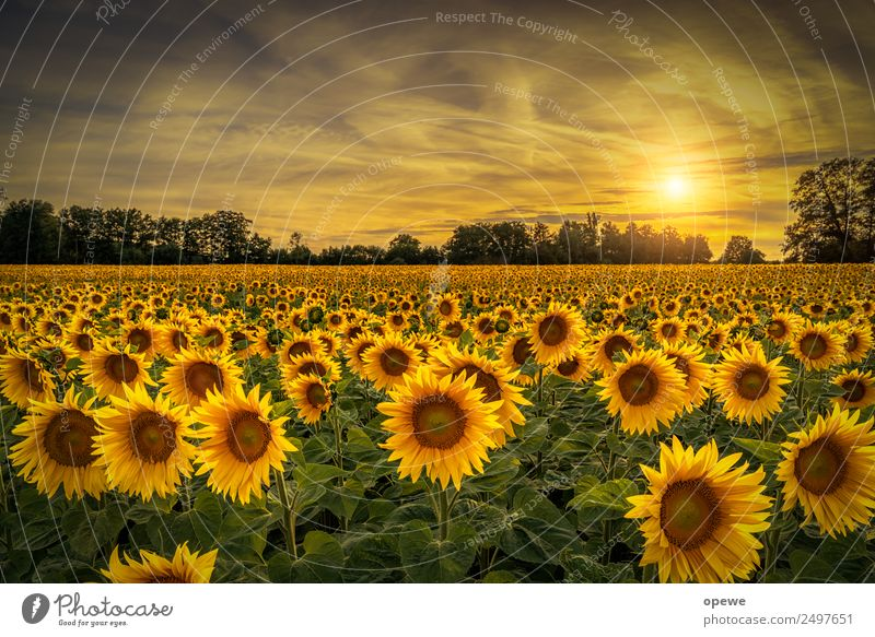 Sunflowers in the evening Environment Nature Landscape Sunrise Sunset Sunlight Summer Beautiful weather Flower Meadow Field Blossoming Laughter Dance Fragrance