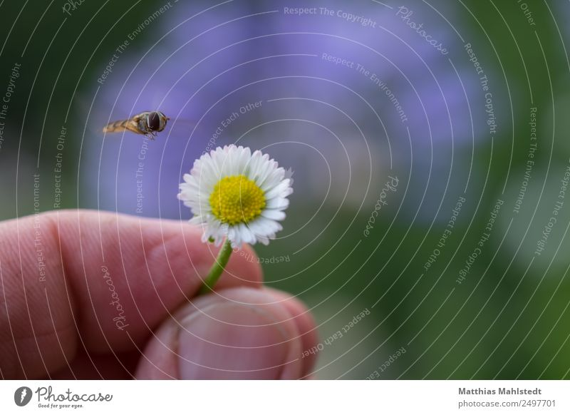 Insect in approach Fingers Environment Nature Plant Animal Flower Blossom Daisy Fly 1 To hold on Flying Natural Yellow Green Contentment Serene Relaxation