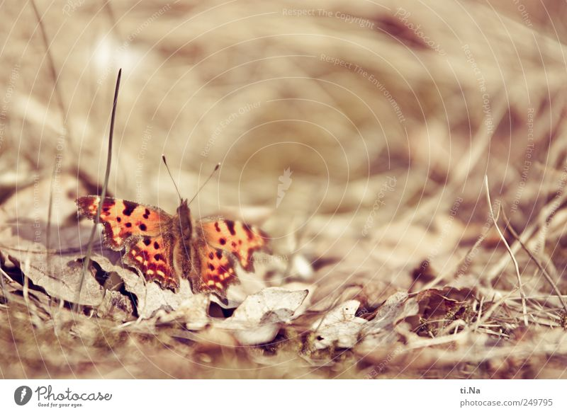 C butterfly Environment Nature Landscape Plant Animal Beautiful weather Grass Bushes Leaf Garden Meadow Wild animal Butterfly Wing Comma 1 Observe Sit Wait