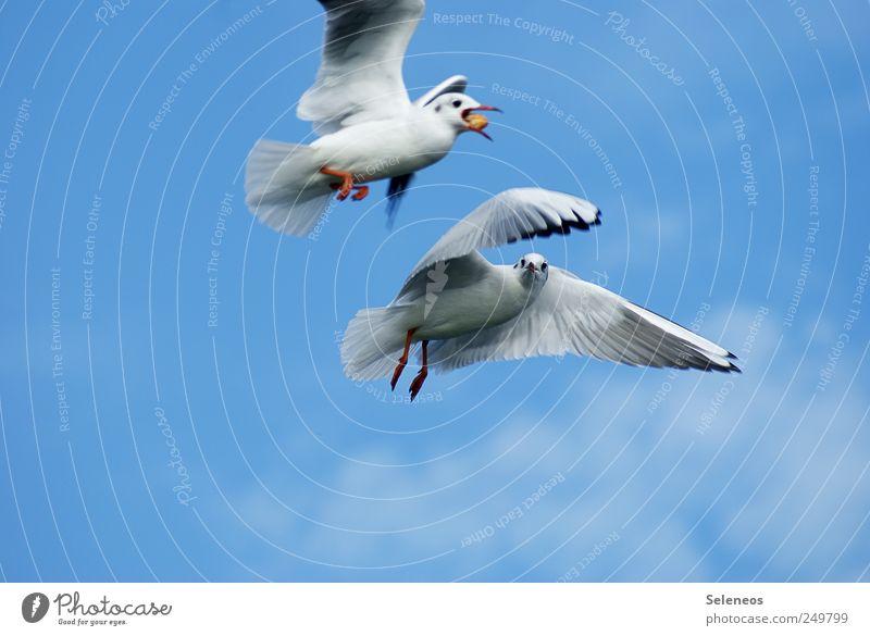 Sky Nature Animal Environment Movement Bird Wild animal Pair of animals In pairs Wing Catch Seagull Snapshot Feeding Feed Flight of the birds